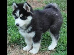 Blue Eye Siberian Husky