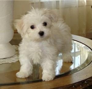 Cute Purebred Maltese Puppy