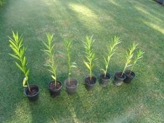 Swan Plants