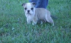 We now have registered English Bulldog puppies that