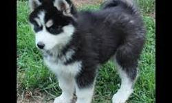 Blue Eyes Siberian Husky available. Exceptional quality