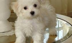 12 week old female teacup Maltese puppy for sale. Color