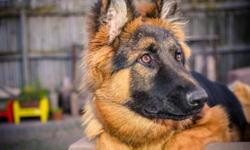 "certified long coatGerman shepherd ""female""for sale."