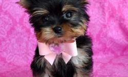 Teacup size yorkie Puppies for sale.    Teacup Size